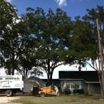 Pecan Tree Pruning