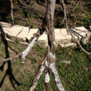 Hypoxylon Canker on Oak Tree