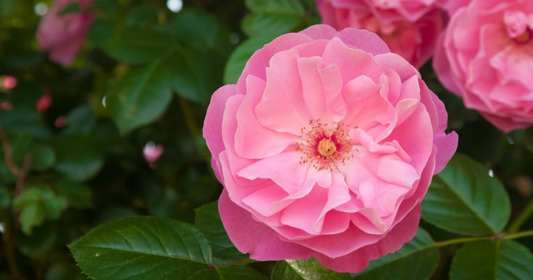 Tips for Pruning a Rose Bush
