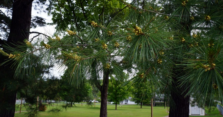 Protecting Your Pine Trees from Bark Beetles