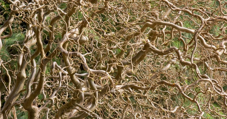 Caring for a Twisted Willow Tree