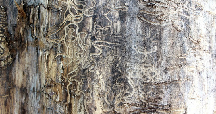 How to Tell If a Tree Is Infested With Termites
