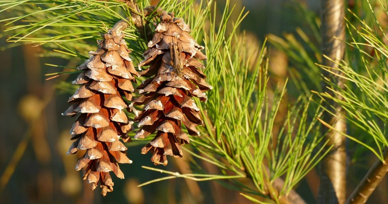 Signs of a Sick and Dying Pine Tree