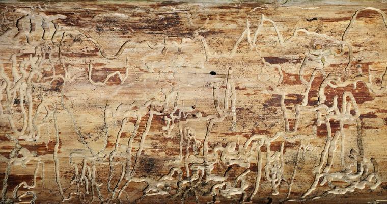 Signs of Bark Beetle Infestation