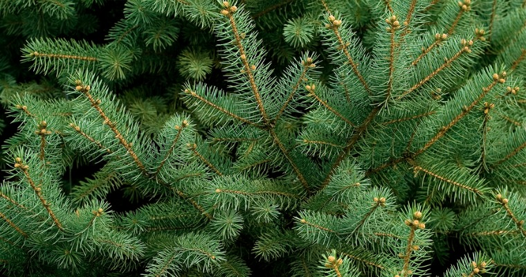 Common Uses for Pine Needles