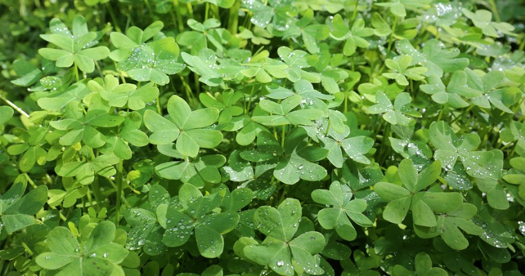 How to Eliminate Clover from Your Lawn