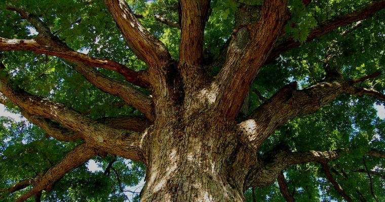 Tips on Caring for an Oak Tree