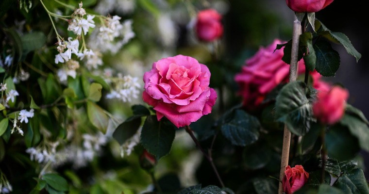 5 Gardening Tips for Rose Bushes