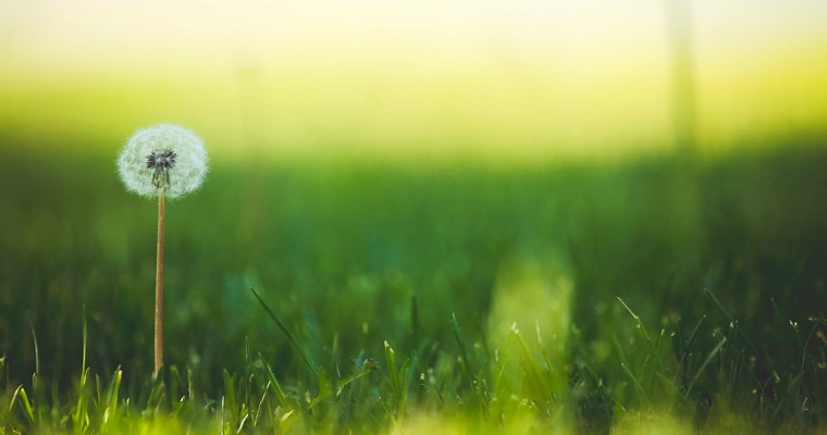 How to Prevent and Control Dandelions