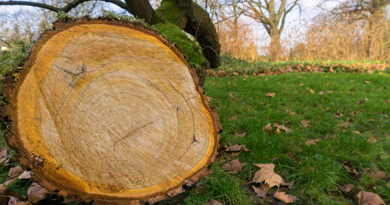 Can I Use a Fallen Tree as Firewood?