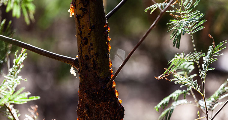 How to Stop a Tree From Dripping Sap