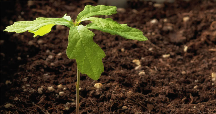 How to Move and Transplant a Sapling