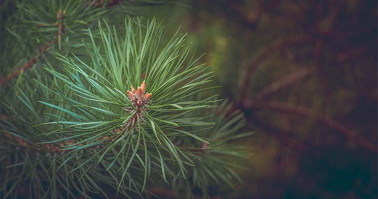 What Causes Pine Trees to Lose Their Needles?