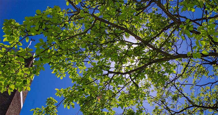 The Pros and Cons of 'Topping' an Oak Tree