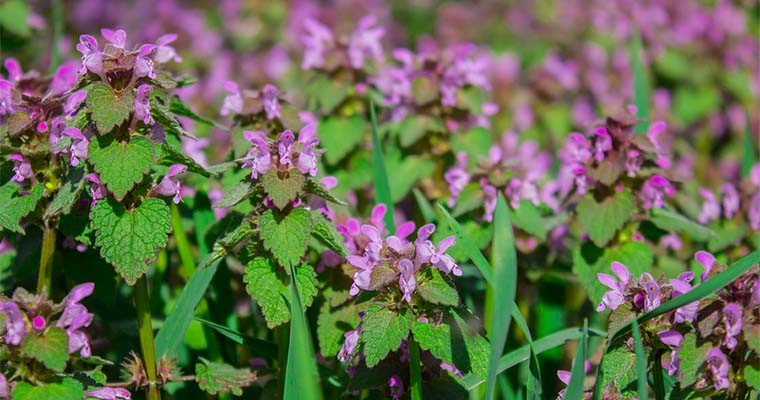 How to Eliminate and Control Henbit Weeds